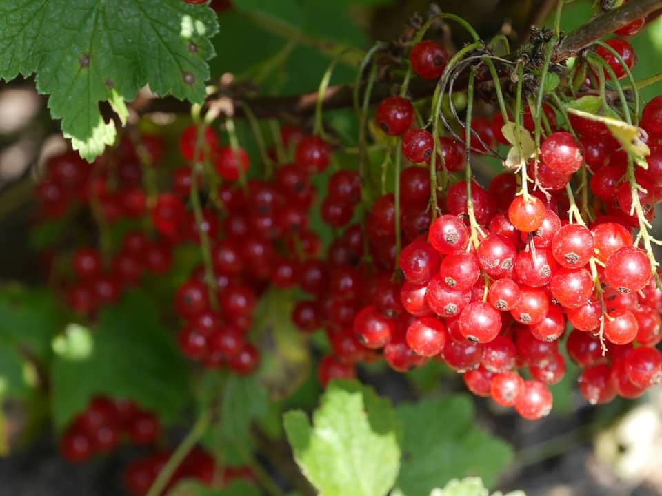 Cranberry Cranberrysaft