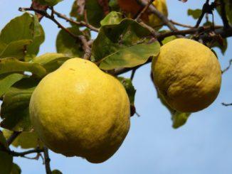 Quitte Frucht Quittensaft